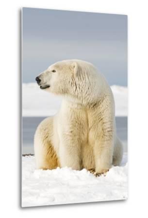 Polar Bear Sits Along Barrier Island, Bernard Spit, ANWR, Alaska, USA-Steve Kazlowski-Metal Print