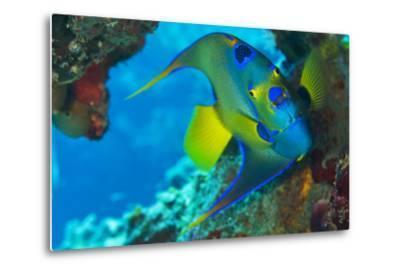 A Queen Angelfish under a Ledge Off Cooper Island, British Virgin Islands-Mauricio Handler-Metal Print