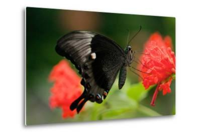 An Emerald Swallowtail Butterfly, Papilio Palinurus-Vickie Lewis-Metal Print