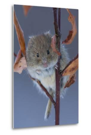 Portrait of a Northern Red-Backed Vole, Myodes Rutilus, Climbing on a Tree Branch-Michael S^ Quinton-Metal Print