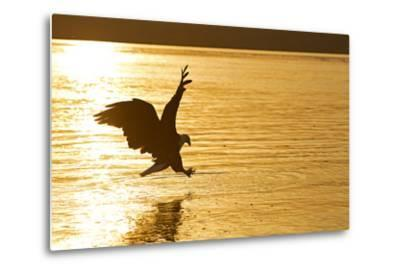 An African Fish Eagle Alights on the Nile River Bathed in Sunlight at Sunset-Cory Richards-Metal Print