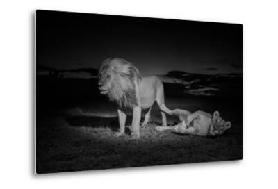An Adult Male Lion, Hildur, and a Vumbi Female Rest after Mating-Michael Nichols-Metal Print