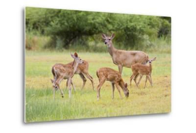 White-Tailed Deer (Odocoileus Virginianus) Doe with Fawns, Texas, USA-Larry Ditto-Metal Print