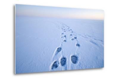 Polar Bear Footprints in the Snow, Bernard Spit, ANWR, Alaska, USA-Steve Kazlowski-Metal Print