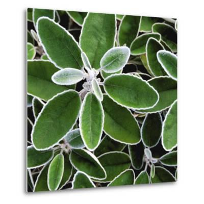 White Edged Shrub-Karen Ussery-Metal Print