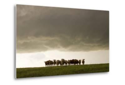 A Herd of Cattle Standing Side-By-Side, in a Perfect Row, in a Field under a Thunderstorm-Mike Theiss-Metal Print