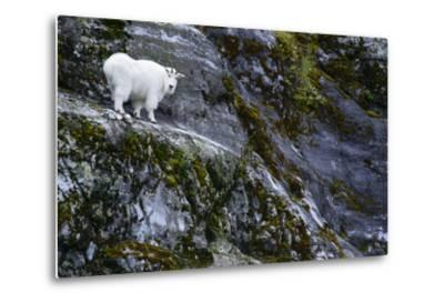 A Mountain Goat Stands on a Cliff Looking with Surprise at the Camera-Michael Melford-Metal Print