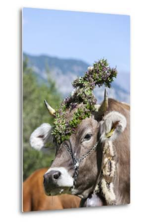 Cow Decorated with Flowers and Ceremonial Bells, South Tyrol, Italy-Martin Zwick-Metal Print