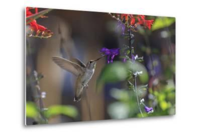 Anna's Hummingbird, Santa Cruz, California, USA-Tom Norring-Metal Print