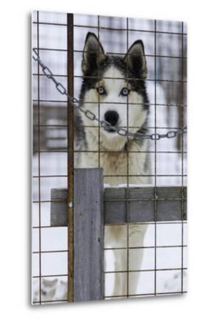 An Alaskan Huskies Peering Through the Wire of its Kennel-Jonathan Irish-Metal Print