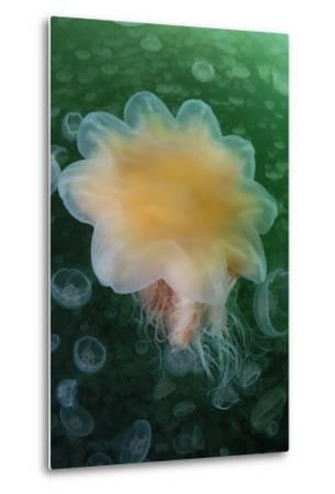 A Lion's Mane Jellyfish, Cyanea Capillata, in a Swarm of Moon Jellyfish, Aurelia Aurita-Jeff Wildermuth-Metal Print