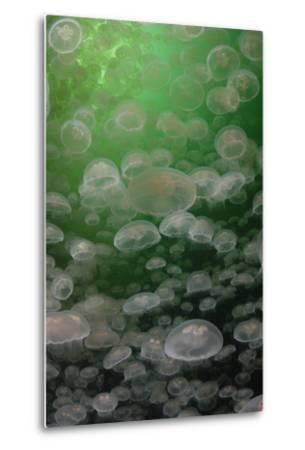 A Swarm of Moon Jellyfish, Aurelia Aurita-Jeff Wildermuth-Metal Print