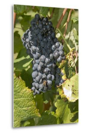 Wine Grapes, Bodegas Carrau Winery, Colon Area, Montevideo, Uruguay-Cindy Miller Hopkins-Metal Print