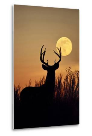 White-Tailed Deer (Odocoileus Virginianus) at Harvest Moon, Texas, USA-Larry Ditto-Metal Print