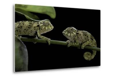 Chamaeleo Johnstoni (Johnston's Chameleon) - Young-Paul Starosta-Metal Print