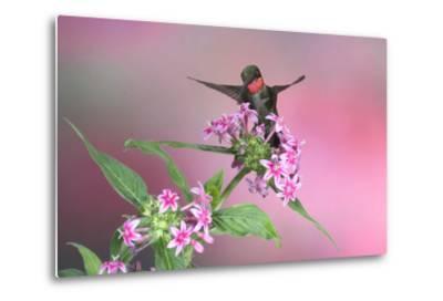 Ruby-Throated Hummingbird Male on Pink Pentas. Marion, Illinois, Usa-Richard ans Susan Day-Metal Print
