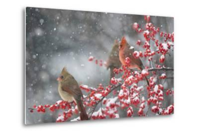Northern Cardinals in Common Winterberry, Marion, Illinois, Usa-Richard ans Susan Day-Metal Print