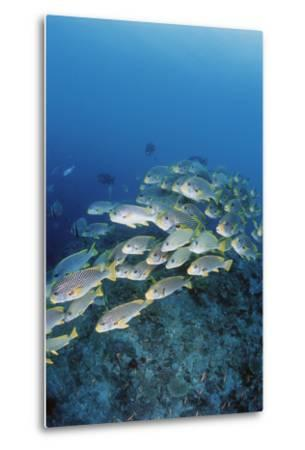 Group of Fish Swimming in Sea-Michele Westmorland-Metal Print