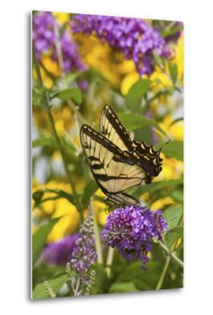 Eastern Tiger Swallowtail Butterfly on Butterfly Bush, Marion Co., Il-Richard ans Susan Day-Metal Print