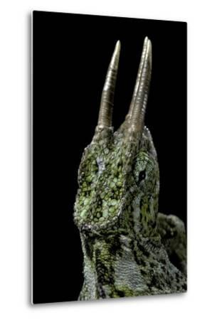 Chamaeleo Johnstoni (Johnston's Chameleon)-Paul Starosta-Metal Print