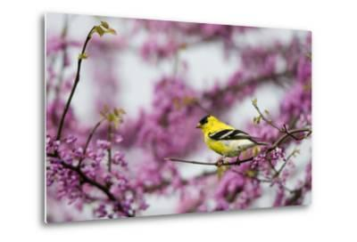 American Goldfinch Male in Eastern Redbud Tree. Marion, Illinois, Usa-Richard ans Susan Day-Metal Print