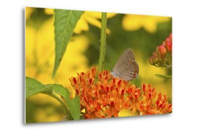 Coral Hairstreak Butterfly on Butterfly Milkweed, Marion Co., Il-Richard ans Susan Day-Metal Print