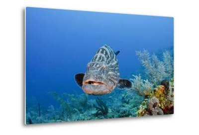 Black Grouper, Jardines De La Reina National Park, Cuba-Pete Oxford-Metal Print