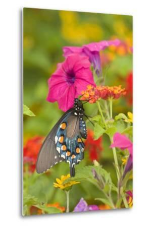 Pipevine Swallowtail on Red Spread Lantana, Marion Co. Il-Richard ans Susan Day-Metal Print