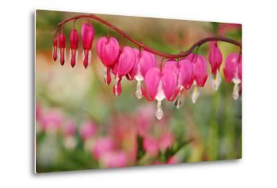 Pink Bleeding Heart Flower or 'Dicentra Spectabilis' in Spring Garden 'Keukenhof', Holland-dzain-Metal Print