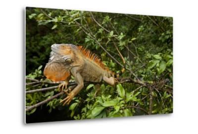 Green Iguana in a Tree in Costa Rica-Paul Souders-Metal Print