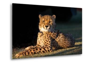 Regal Cheetah Basking in the Afternoon Sun at Umkondo Cheetah Rehabilitation Centre Near Mosselbay-Fiona Ayerst-Metal Print