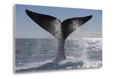 Southern Right Whale Off Peninsula Valdes, Patagonia-Paul Souders-Metal Print