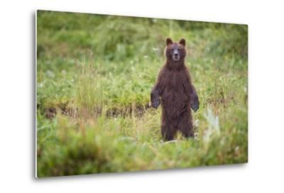 Brown Bear in Coastal Meadow in Alaska-Paul Souders-Metal Print