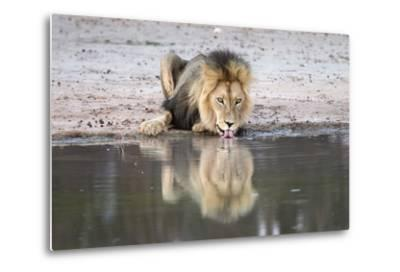 Lion (Panthera Leo) Drinking, Kgalagadi Transfrontier Park, South Africa, Africa-Ann and Steve Toon-Metal Print