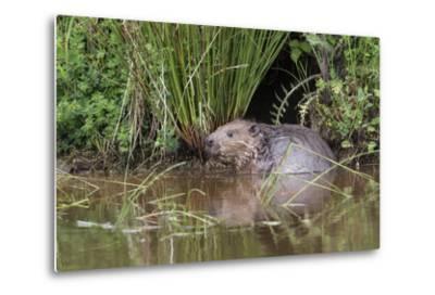 Eurasian Beaver (Castor Fiber), Captive in Breeding Programme, United Kingdom, Europe-Ann and Steve Toon-Metal Print