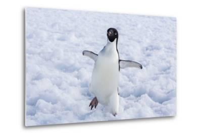 Adelie Penguin (Pygoscelis Adeliae)-Michael Nolan-Metal Print