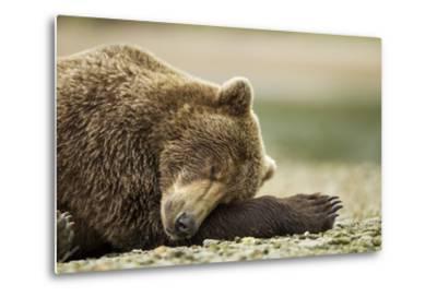 Sleeping Brown Bear, Katmai National Park, Alaska-Paul Souders-Metal Print
