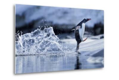 Leaping Gentoo Penguin, Antarctica--Metal Print