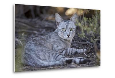 African Wild Cat (Felis Silvestris Lybica)-James Hager-Metal Print