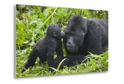 Baby Gorilla Kisses Silverback Male--Metal Print
