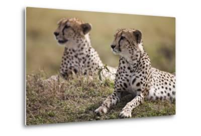 Cheetahs Resting in Grass-Paul Souders-Metal Print