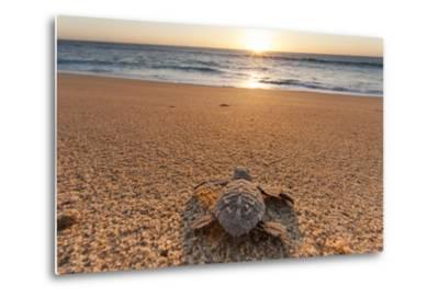 Olive Ridley Turtle Hatchling, Baja, Mexico-Paul Souders-Metal Print