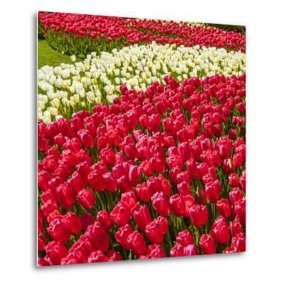 Red Tulip in Bloom-Richard T. Nowitz-Metal Print