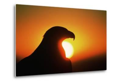 Golden Eagle at Sunrise-W^ Perry Conway-Metal Print