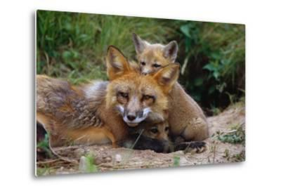 Mother Red Fox and Pups-W^ Perry Conway-Metal Print