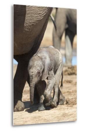 Elephants (Loxodonta Africana) New-Born, Addo Elephant National Park, South Africa, Africa-Ann and Steve Toon-Metal Print