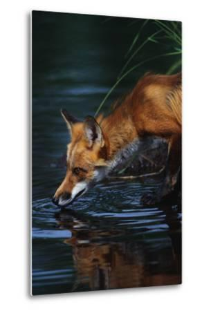 Red Fox Drinking Water-W^ Perry Conway-Metal Print
