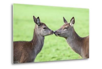 Red Deer Hind with Young (Cervus Elaphus), Arran, Scotland, United Kingdom, Europe-Ann and Steve Toon-Metal Print