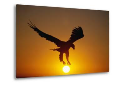 Bald Eagle Flying at Sunrise-W^ Perry Conway-Metal Print