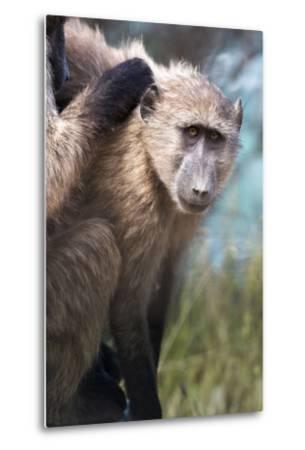 Chacma Baboon (Papio Ursinus), Cape of Good Hope, Table Mountain National Park-Kimberly Walker-Metal Print